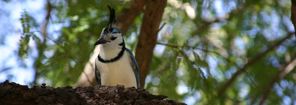Image of Magpie Jay